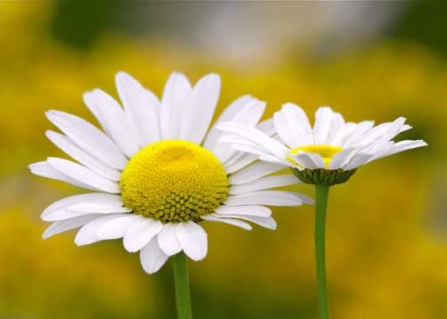 daisies, Natural flower